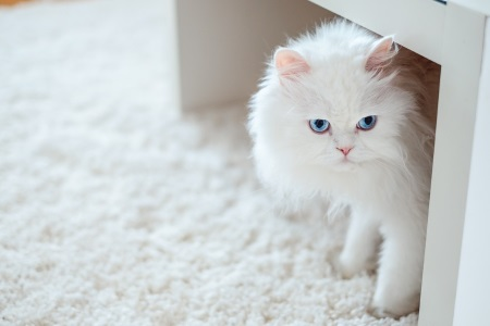 cat on white carpet