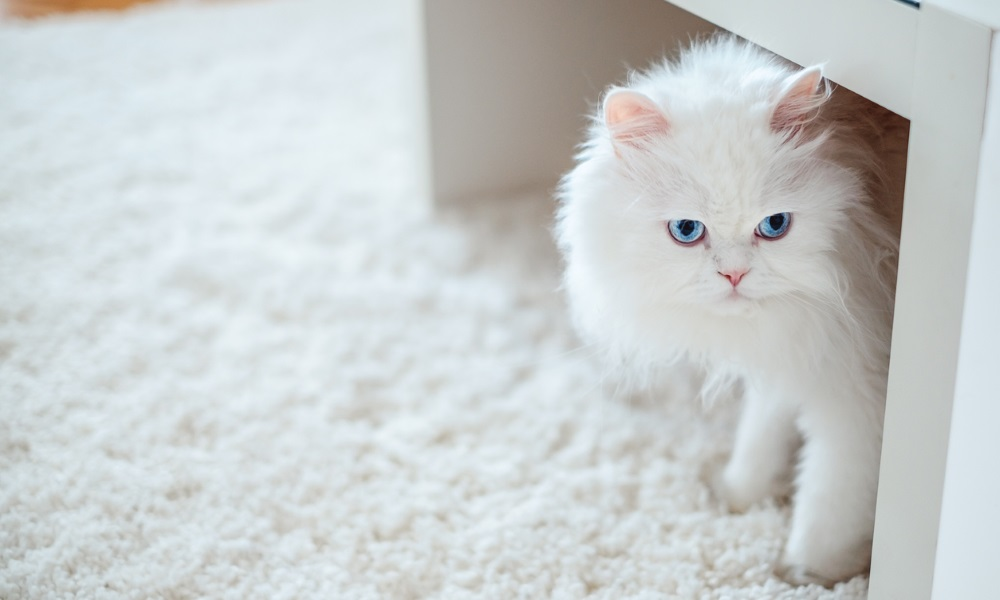 white long-hair cat on white carpet